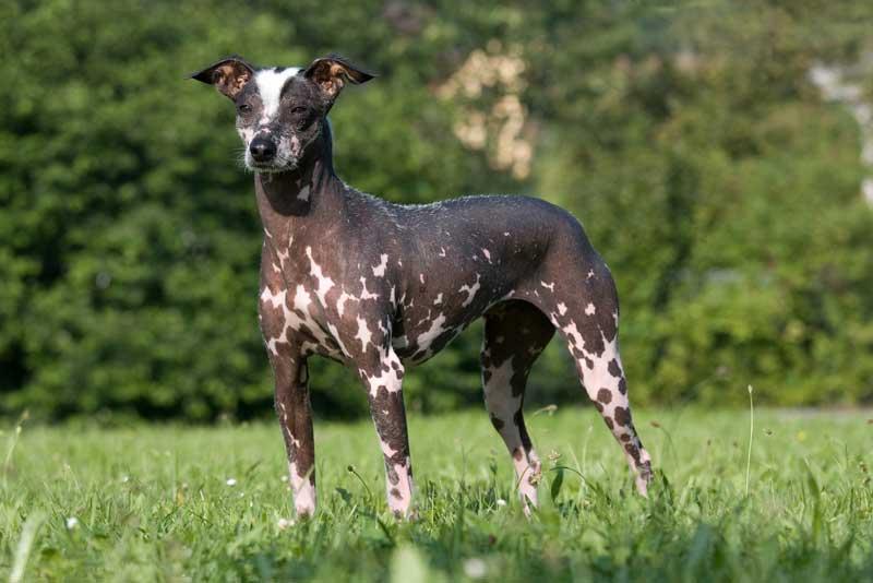 peruanischer Nackthund gefleckt
