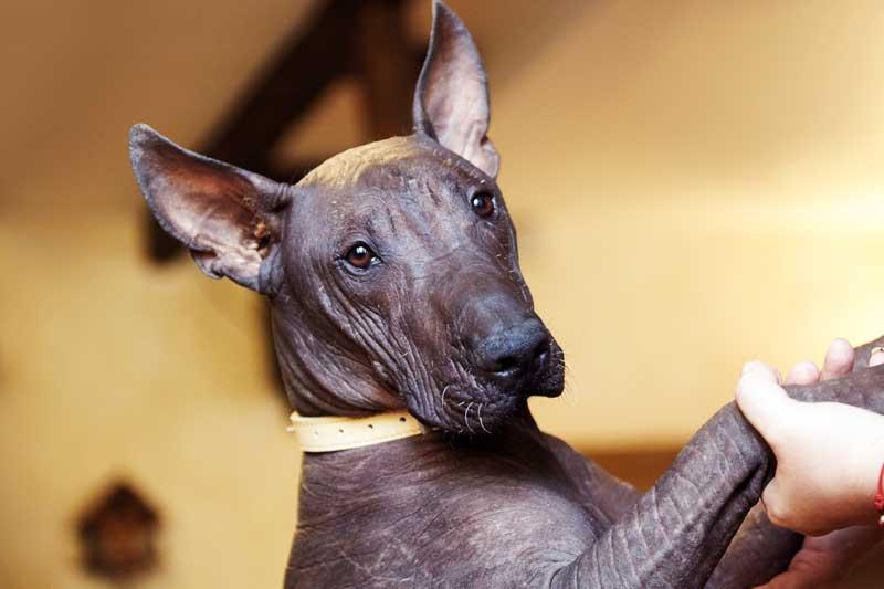 peruanischer Nackthund gesicht