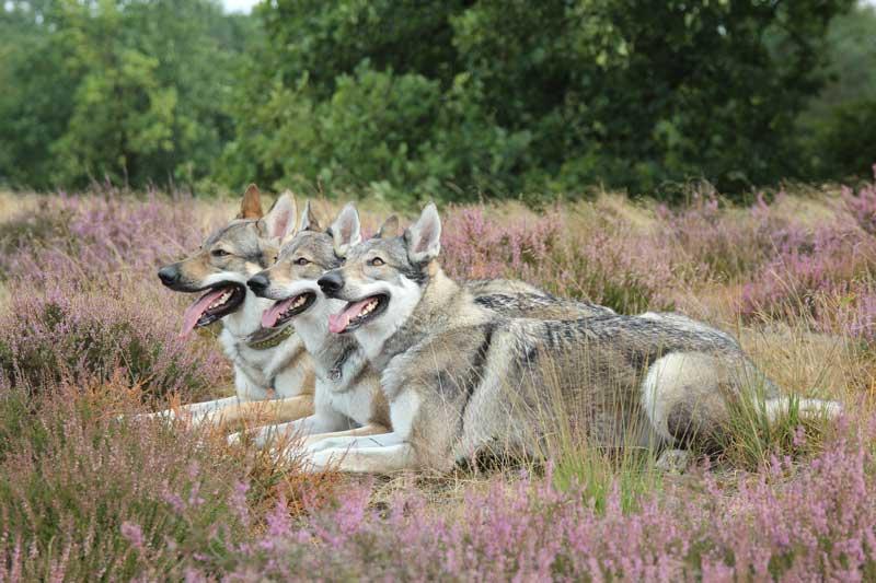 Tschechoslowakischer Wolfshund Rudel