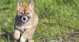 australischer-Dingo-welpe