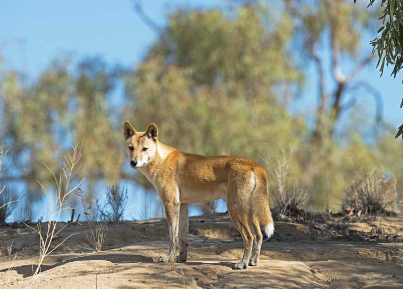freilebender Dingo