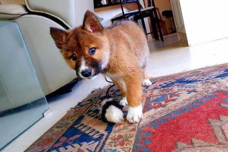 Der kleine Dingo ist für die Wissenschaftler ein Glücksfund. © Instagram wandi_dingo