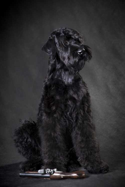 Russischer Schwarzer Terrier sitzend
