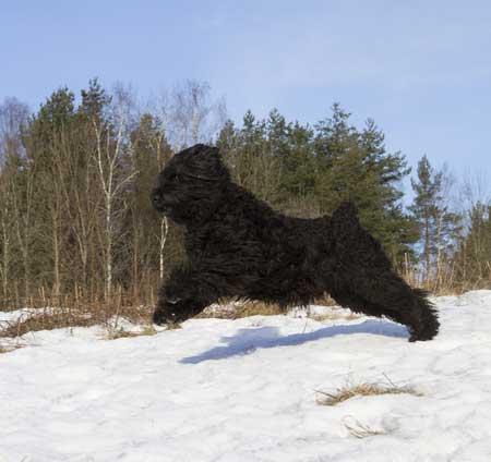 Russischer Schwarzer Terrier im Sprung