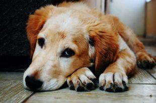 Futterunvertraeglichkeit-hund