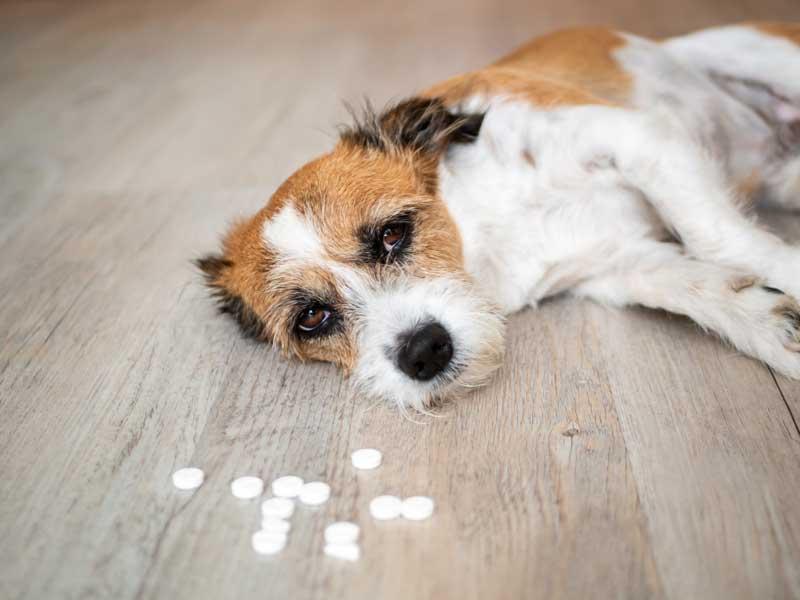 Keine Medikamente rumliegen lassen Hund vergiftet