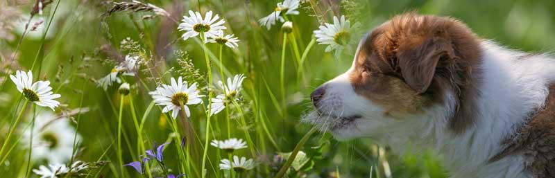 Margariten hund