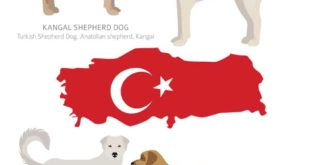 tuerkische-Hunderassen