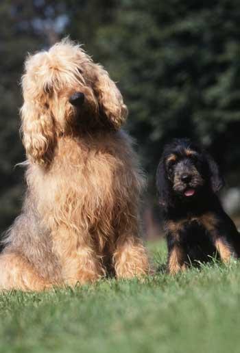Otterhound mit Welpe