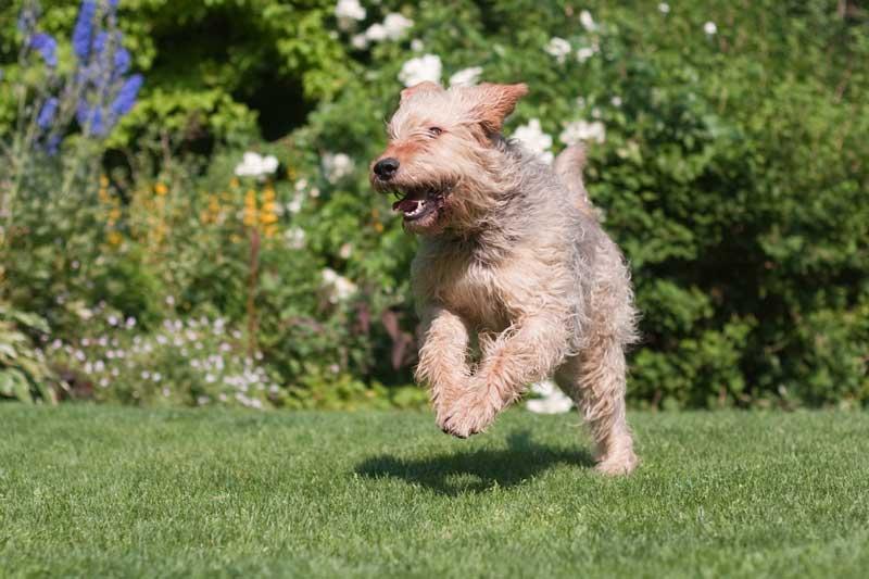 Otterhound rennend