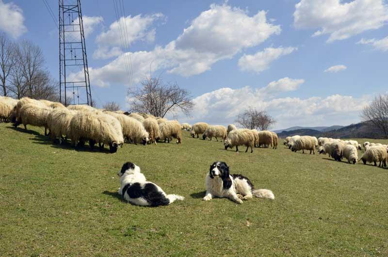 tornjak-herdenschutzhund