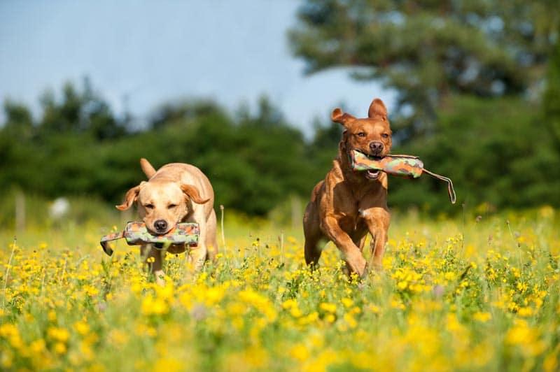 apportieren-hunde