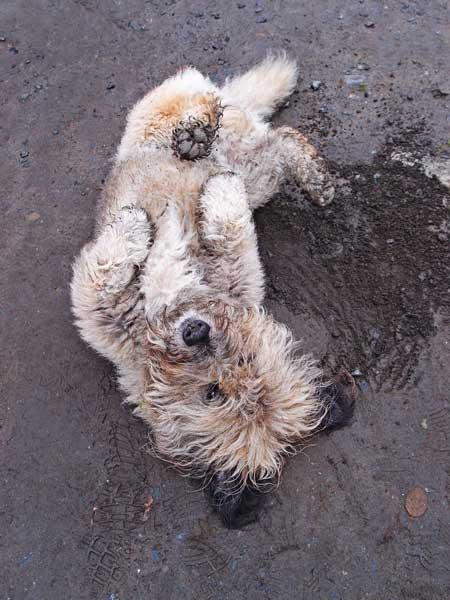 Hund wälzt sich im Dreck