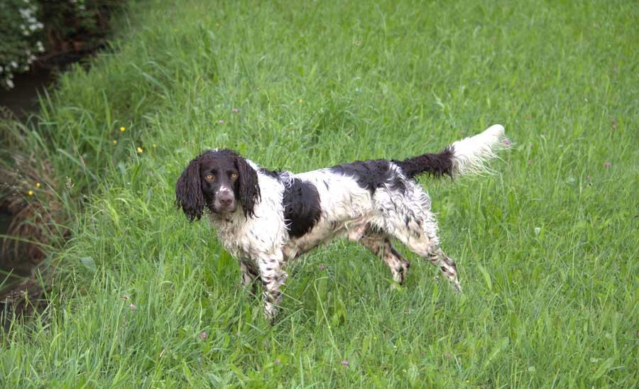 Deutscher-Wachtelhund-braunschimmel