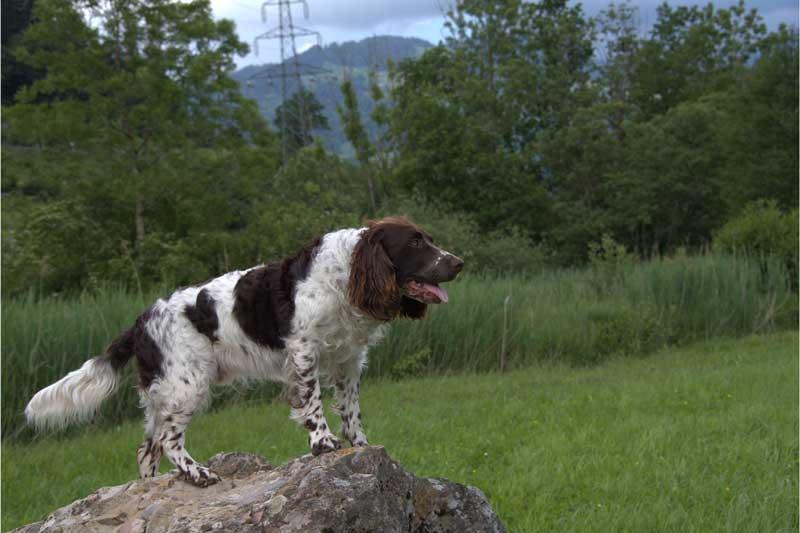 Deutscher-Wachtelhund-braunschimmel2