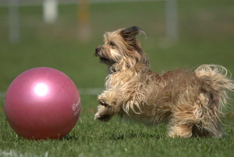 Treibball ist auch etwas für kleinere Hunde