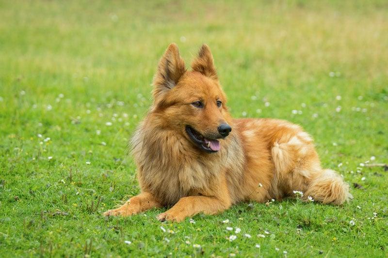 Altdeutscher Huetehund