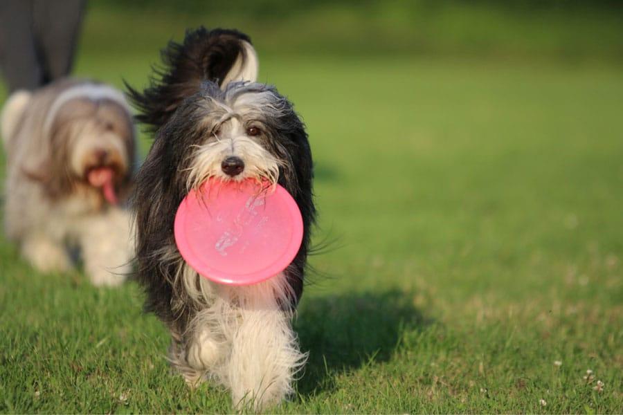 Bearded-Collie-frisbee