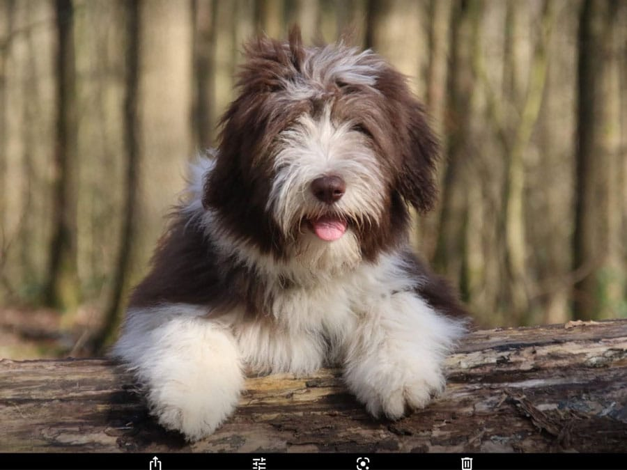Bearded-Collie-jung