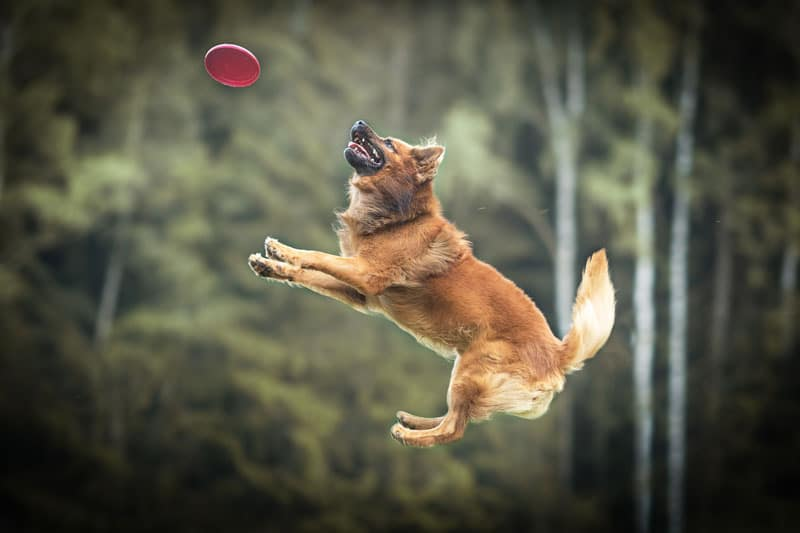 harzer-fuchs-frisbee