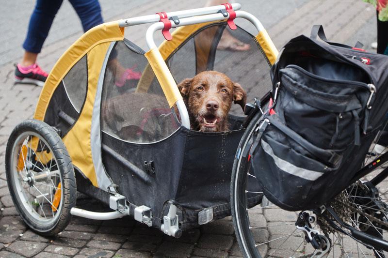 hund-an-fahrradanhänger-gewöhnen