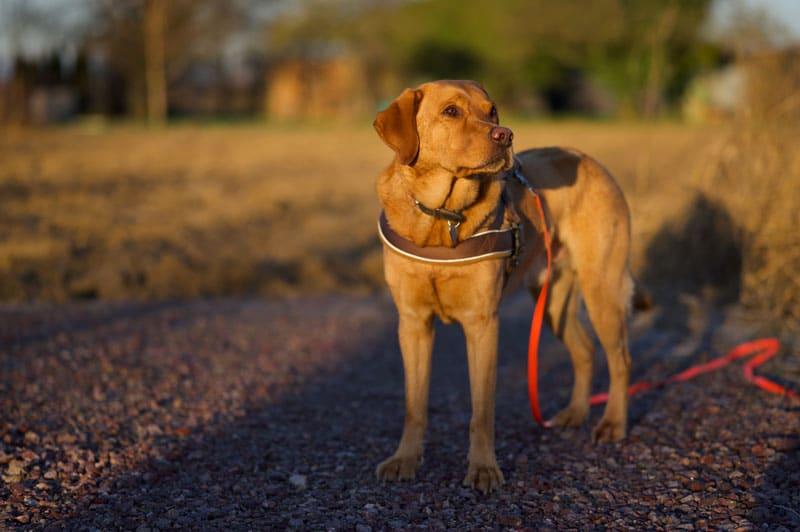 hund-an-schleppleine