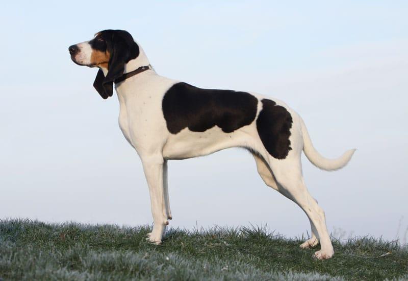schweizer-laufhund
