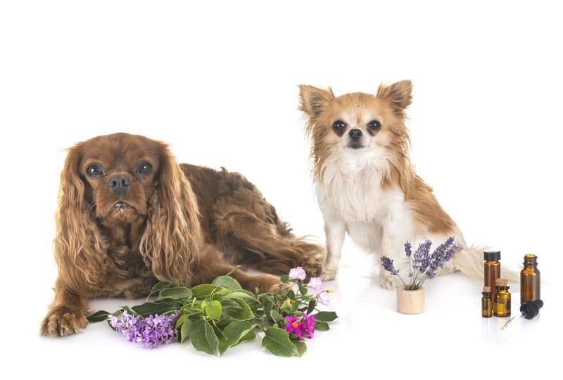 aetherische-oele-hund-anwendungen
